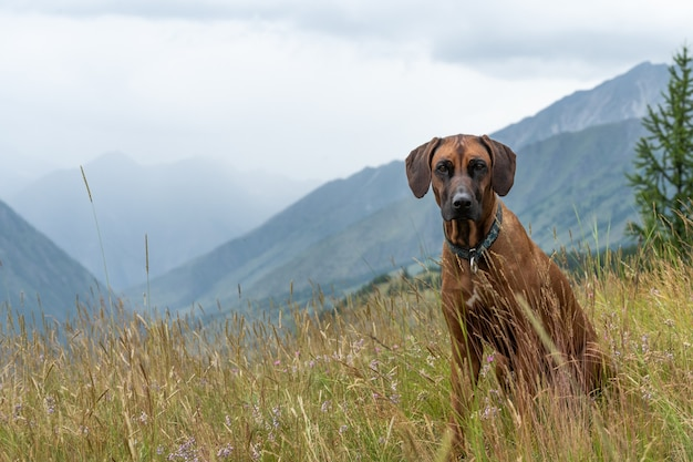 A rhodesian ridgeback sits in the grass on a high mountainside. portrait of a dog against the backdrop of a mountain landscape