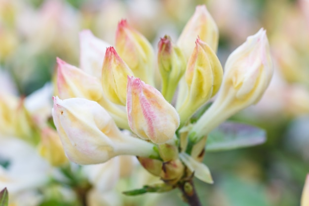 Rhododendron (azalea) buds of purple color in the spring garden