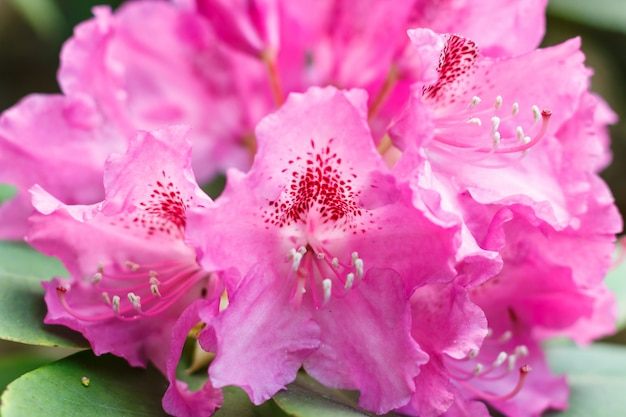 Rhododendron (azalea) flowers of various colors in the spring garden