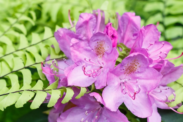 Rhododendron (azalea ) flowers of various colors in the spring garden