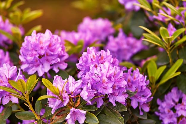 春の植物園に咲くシャクナゲ