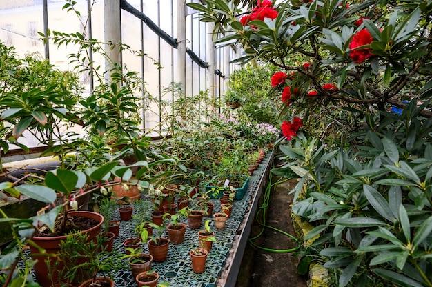 진달래 부즈키. 식물원. 아름다운 녹색 식물. 밝은 꽃. 냄비에 많은 묘목.
