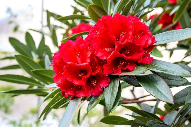 진달래 부즈키. 식물원. 아름다운 녹색 식물. 밝은 붉은 꽃.