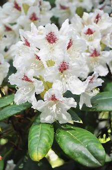 シャクナゲカニンガム白い花。春のトロピカルガーデン。 4月、5月のシャクナゲの開花期。