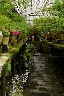Rhododendron flowers and tropical plants growing in a vintage greenhouse.