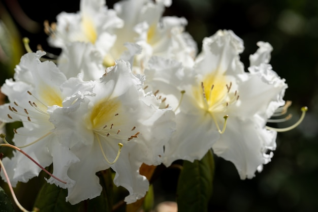 Rhododendron ludwigianum hoss (white rhodon) white flower from north thailand