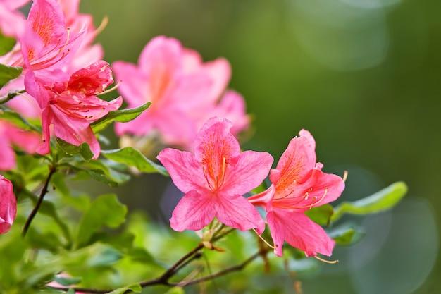 春の植物園に咲くシャクナゲの赤い花