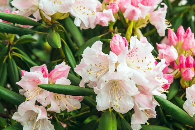 Rhododendron simsii indian azalea、simssazalea。魅力的なワイルドローズ、マゼンタまたはダークレッドの色合い、フリルの花びら
