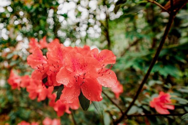 Рододендрон simsii planch, национальный парк фу крадуенг, таиланд.