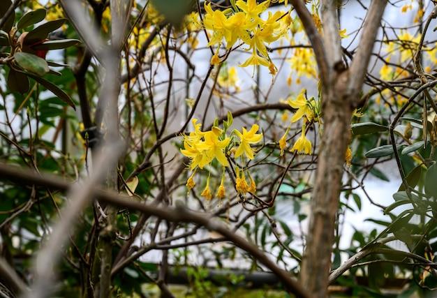 진달래 노란색. 식물원. 아름다운 녹색 식물. 밝은 노란색 꽃.
