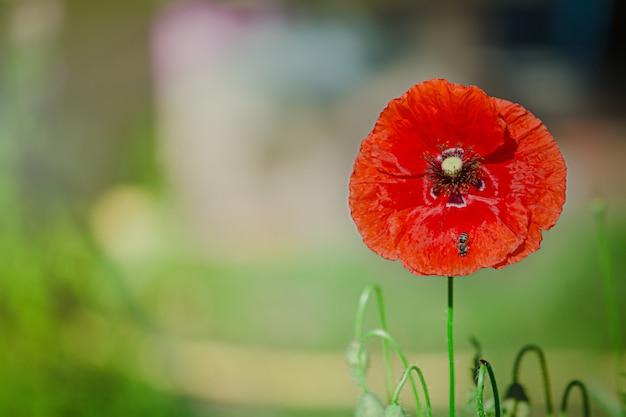 ケシrhoeas、共通、トウモロコシ、フランダース、赤いケシ、コーンローズ、フィールドはケシ科ケシ科の開花植物です。