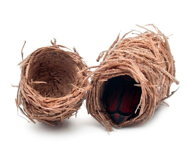 Коконы красного пальмового долгоносика, азиатского пальмового долгоносика или сагового пальмового долгоносика - rhynchophorus ferrugineus