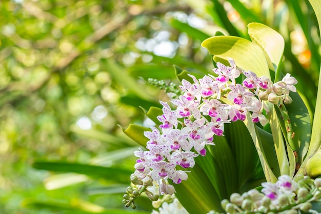 Rhynchostylis gigantea 난초, 보라색과 흰색 꽃이 피고 녹색 자연이 흐릿한 배경에 텍스트를 위한 공간이 있는 전경에 초점을 맞춥니다.