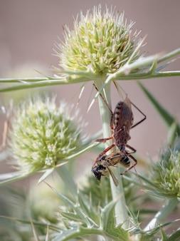 Rhynocoris iracundus 포획된 곤충이 있는 암살자 벌레