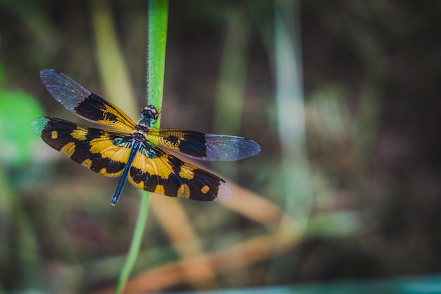 Rhyothemis variegata,is a species of dragonfly on the grass.