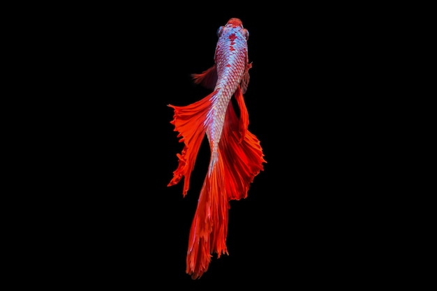 Rhythmic of betta fish
