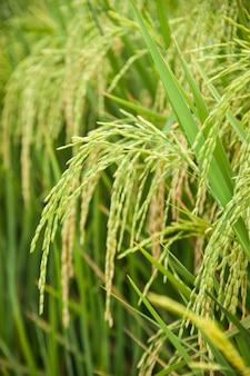 米と田んぼ