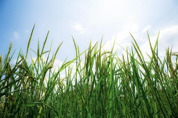 米は空で育っています。
