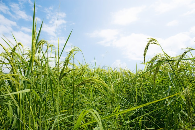 쌀이 푸른 하늘과 함께 자랍니다.