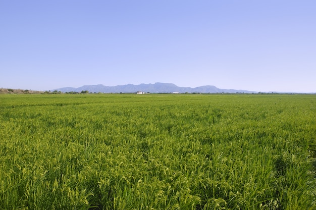 Rice cereal green fields
