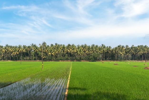Выращивание риса на плантации между пальмовыми рощами в южных странах азии. штат гоа индия.