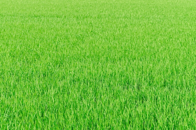 Rice farm green paddy field nature background texture