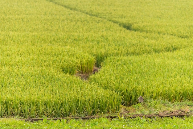 Rice farm in the morning