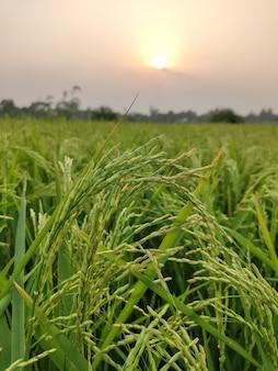 青空の田んぼのある田んぼ野原に生い茂る新緑の草の眺め