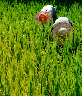 マレーシアの米農家