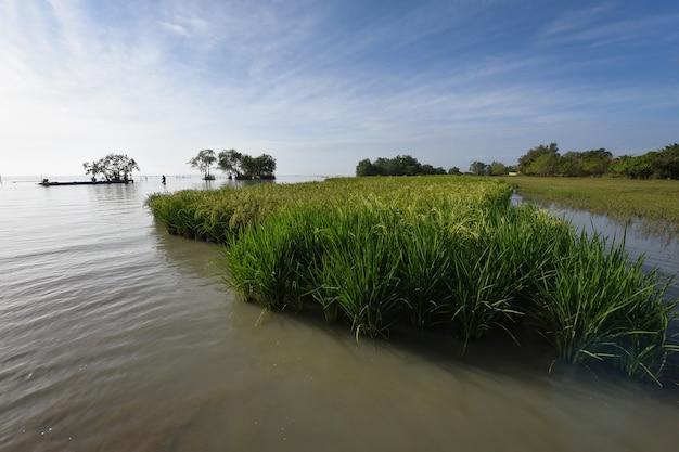 태국 phatthalung 지방의 pak pra 해변 호수에서 벼농사를 짓고 있습니다.