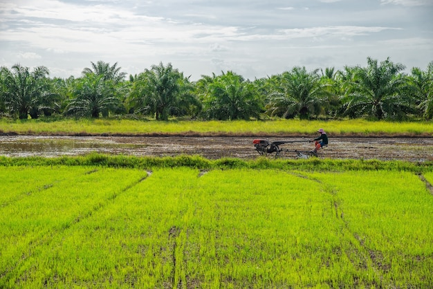 Rice field, agriculture, paddy, with farmer and white cloud and blue sky