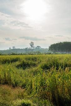 田んぼ、農業、水田、朝の光の中で空と雲と霧