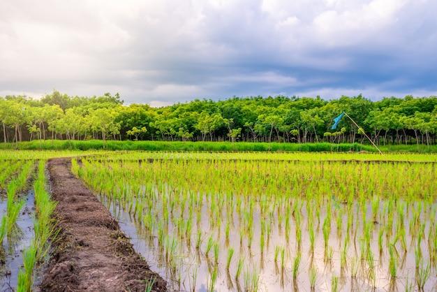 田んぼ、農業、水田、夕方の光の中で空と雲の雨