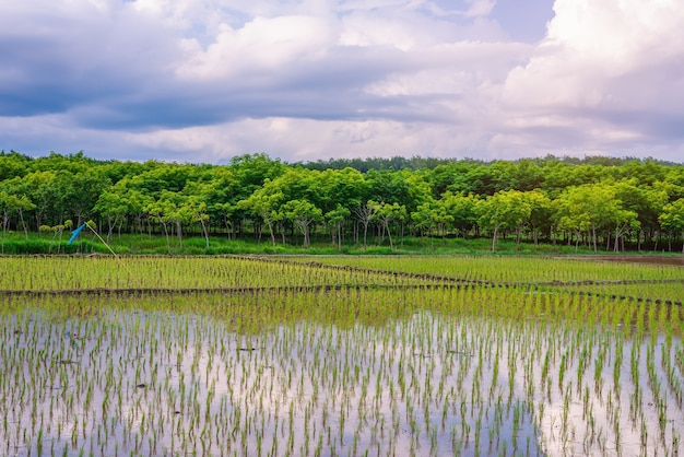 Rice field, agriculture, paddy, with sky and cloud in sunset, rice field in asia