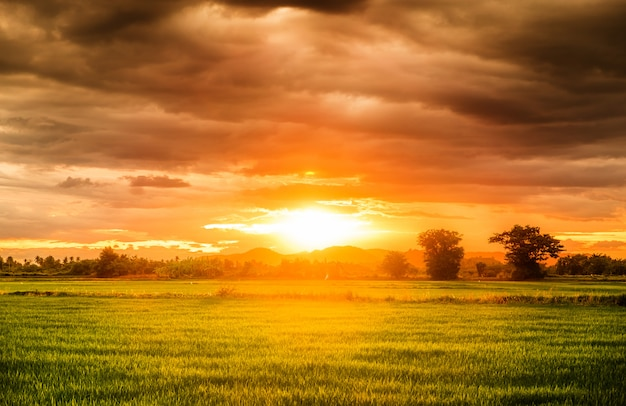 Rice field beautiful natural