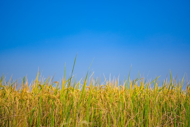Rice field on blue sky and clear cloud background