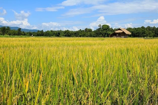 Rice field in chiang mai ,thailand.