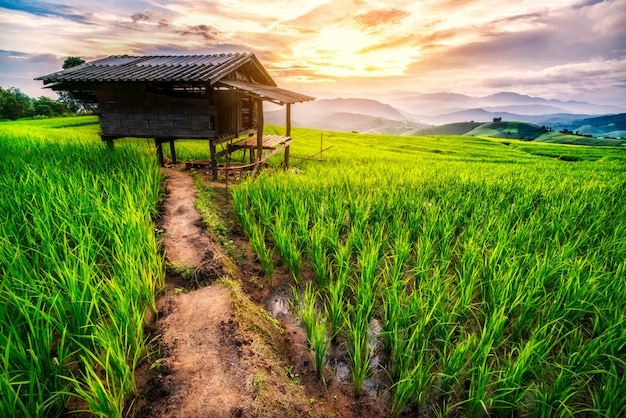 Rice field in chiang mai