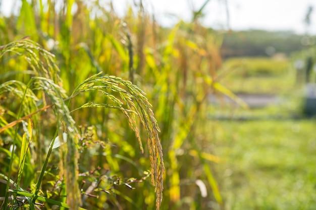 논은 일몰에 농장에서 노란색 익은 재스민 쌀 씨앗과 녹색 잎을 닫습니다