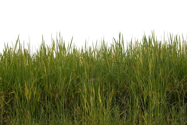 쌀 필드 근접 촬영