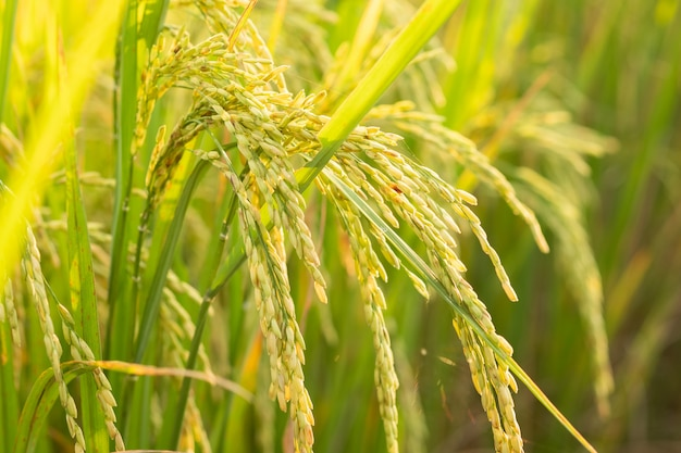 Rice in field conversion test at north thailand,rice yellow color