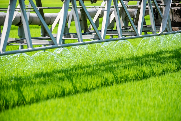 Rice field green agriculture ecosystem. watering rice paddy field in green farm.