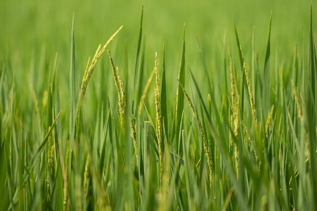 Рисовое поле зеленый фон.