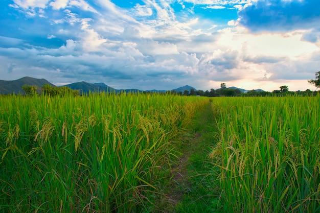 Rice field green grass blue sky cloud cloudy landscape thailand