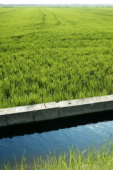 Rice field green meadow in spain ditch