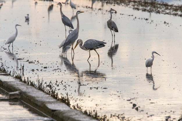 バレンシアのアルブフェラの田んぼは日没時の耕作の日に鳥でいっぱい。