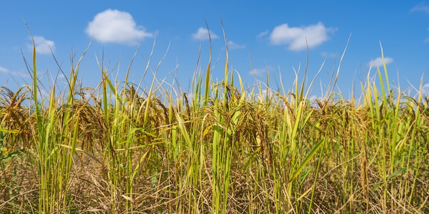 Rice field in the morning under blue sky