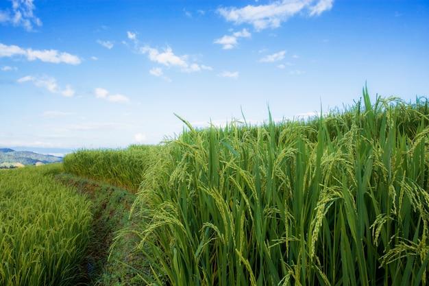 언덕에 쌀 필드입니다.