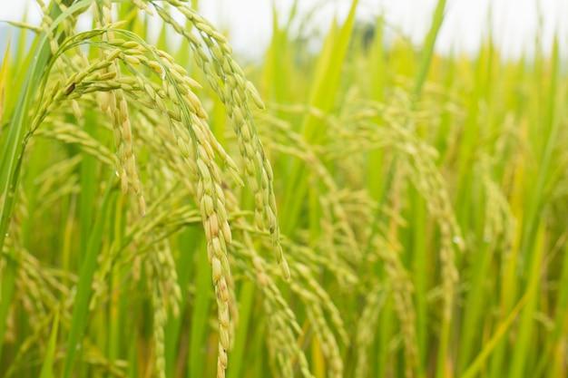 Rice field paddy rice in field