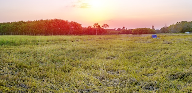 Rice field panarama with sunrise or sunset and flare over the sun in moning light